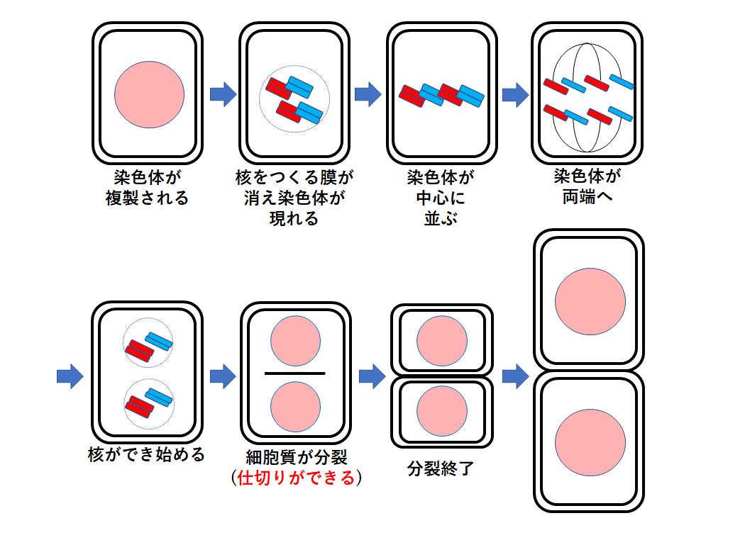 分裂 細胞質